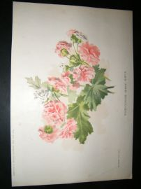 Amateur Gardening 1895 Botanical. Double-Flowered Chinese Primula